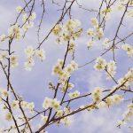 桜よりちょっと早めのお花見はいかがですか?
