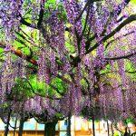 まもなく見頃、ふじ寺に咲く藤の花